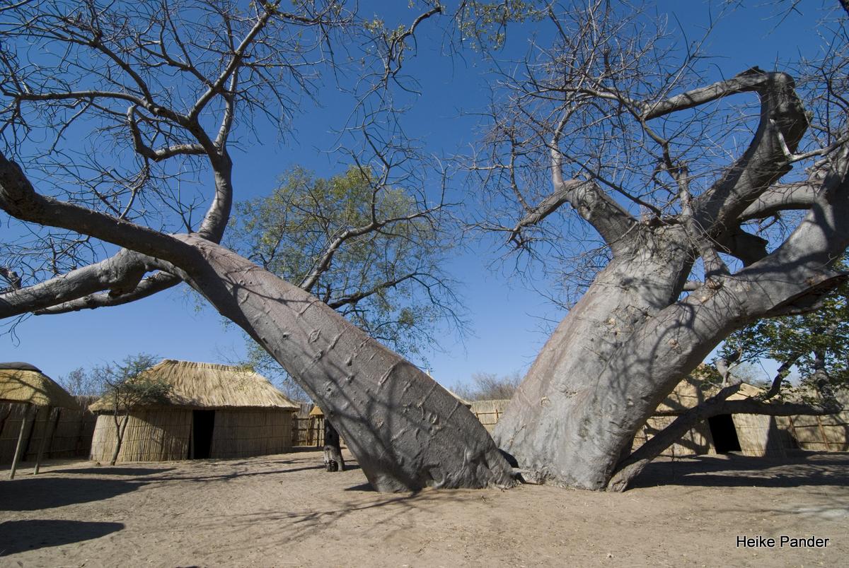 Twin-Baobab, Heike Pander
