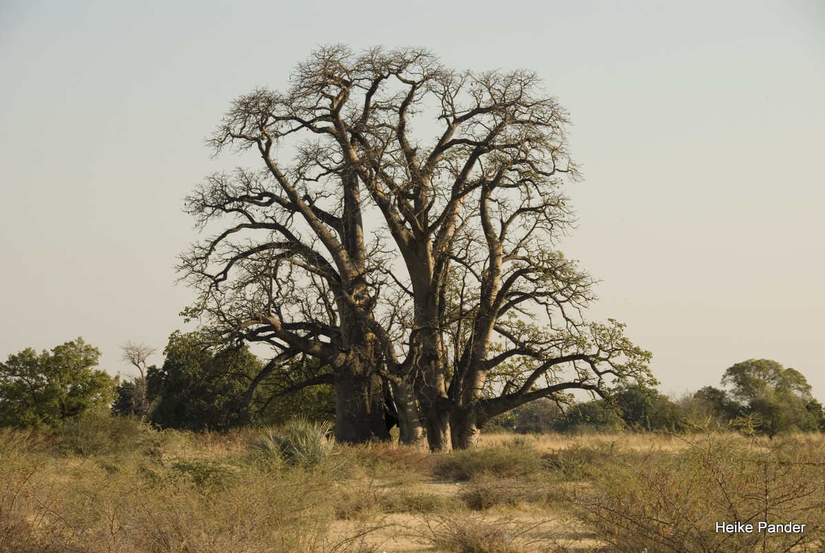 Baobab, in cultivated area, near Outapi, Heike Pander