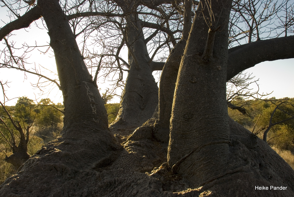 Holboom, View into the branches, Tsumkwe, Heike Pander