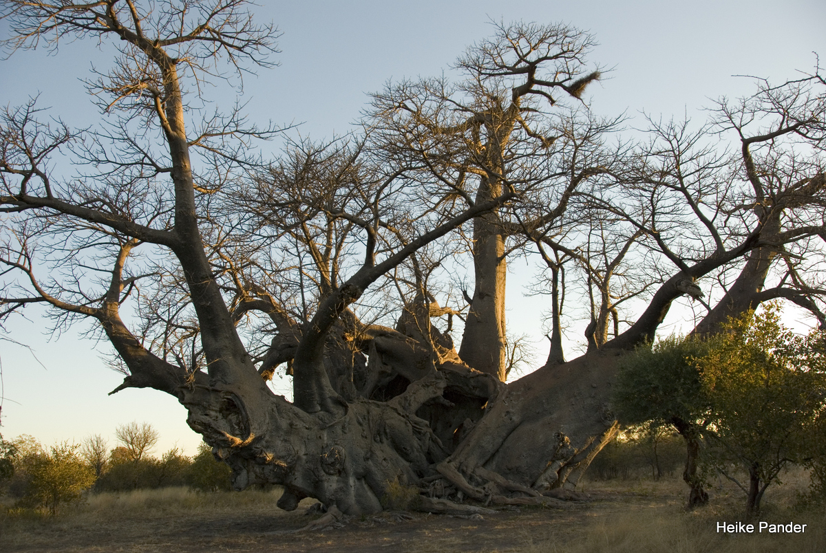 Holboom, at Sunset, Tsumkwe, Heike Pander