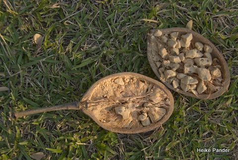 Baobab Fruit, open