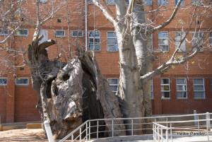 Baobab, Kasane