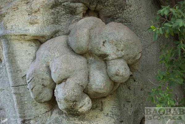 Sunland Baobab, Elephant Shape