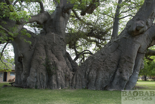 Sunland Baobab, South Africa
