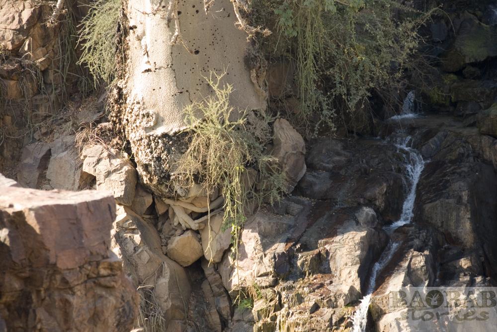 Baobab Detail, Epupa Falls