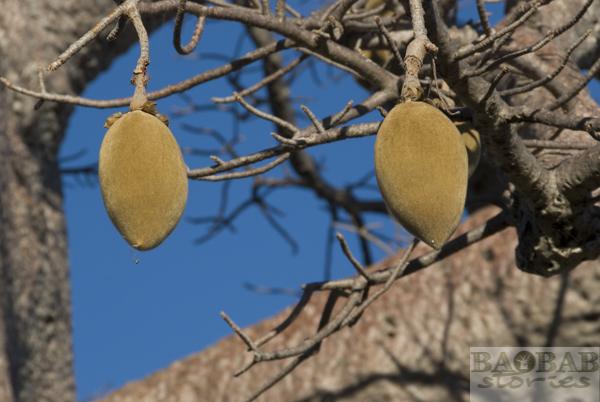Baobab Fruit, Planet Baobab