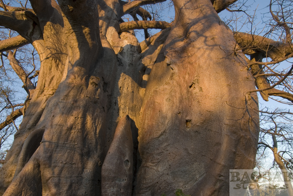 Baobab, Stem, Planet Baobab