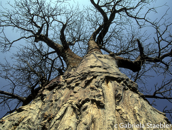 Baobab, Gabriela Staebler, Tanzania