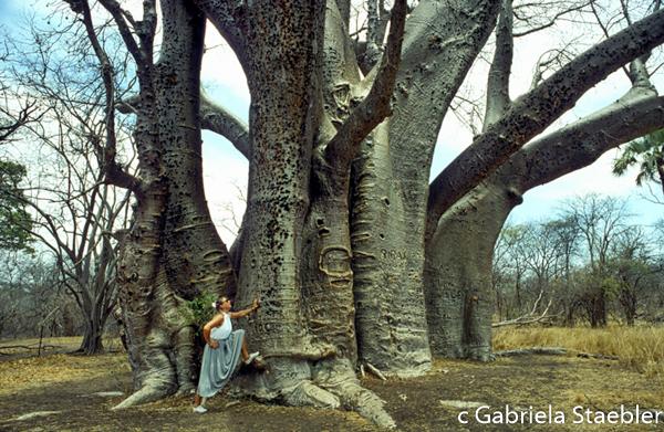 Baobab, Gabriela Staebler, Victoria Falls, Zimbabwe