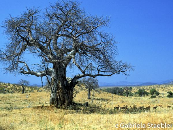 Baobab with Bees, Gabriela Staebler, Ruaha N.P. Tanzania