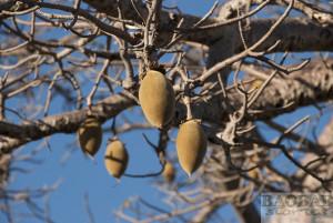 Baobab, Fruit