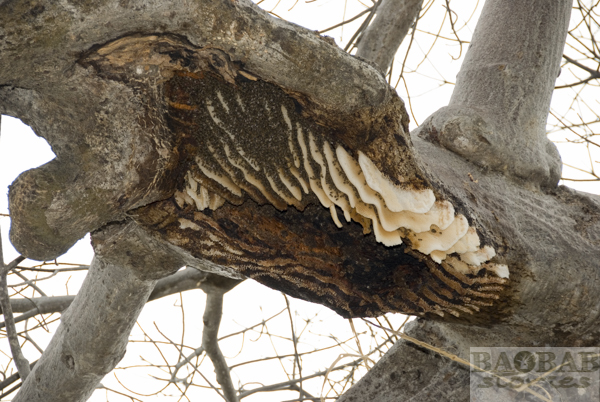 Bees under the Branch of a Baobab, Zambia