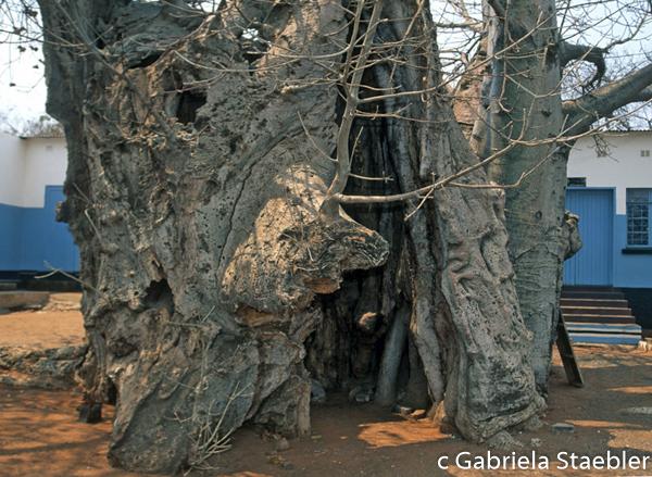 Baobab Prisontree, Gabriela Staebler, Kasane Botsuana