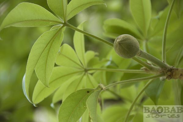 Glencoe Baobab, Flower Bud