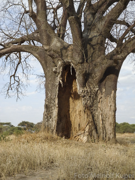 Baobab, Tarangire N.P., Tanzania
