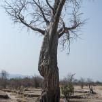 Baobab with Elephant Damage, Mana Pools