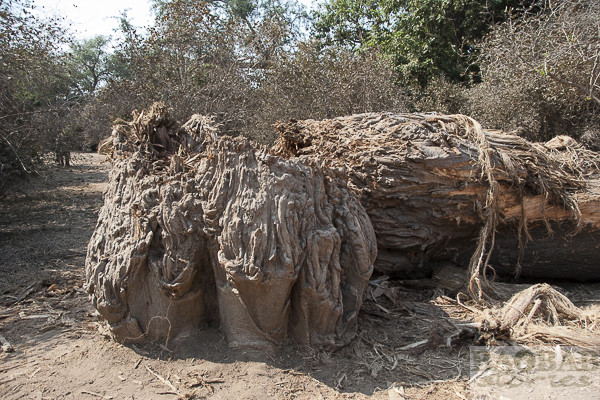 Dead Baobab at Mana Pools