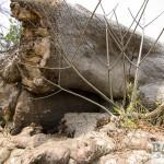 Glencoe Baobab, Detail