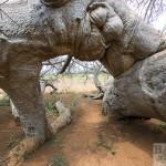 Glencoe Baobab, Arcade