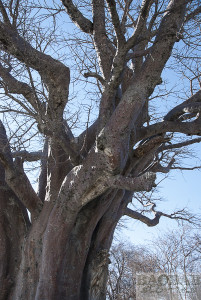 Baines Baobab with Fungus Spots