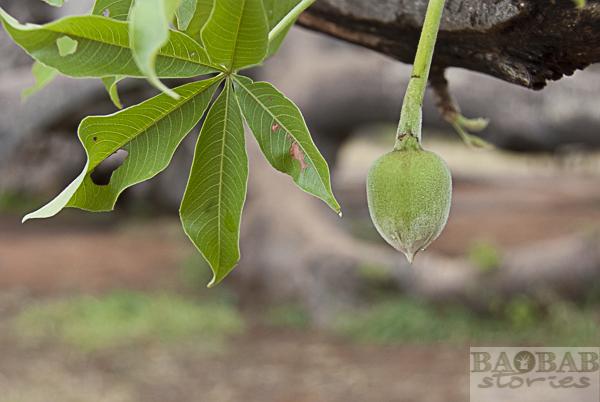 Baobab flower bud