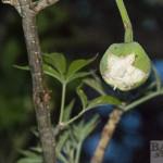 Baobab flower opening