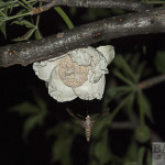 Baobab flower with hawkmoth