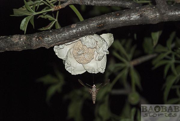 Baobab flower with hawkmoth