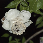 Baobab flower with rose beetles