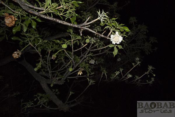 Baobab flower on tree