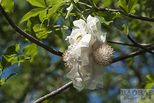 Baobab Double Flower
