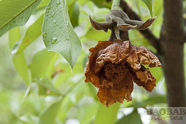 Wilted Baobab Flower