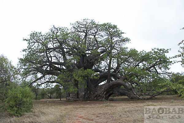 Baobab, Sagole Big Tree