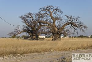 Baobabs, Outapi