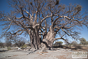 Old Baobabs