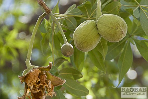Baobab Double Flowerbud