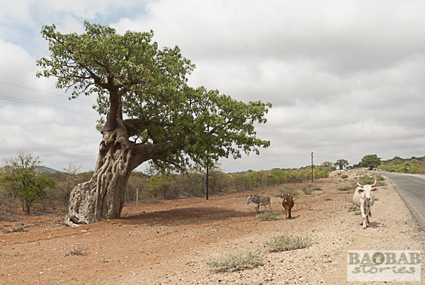 Baobab an Cattle anlong the Road, South Africa