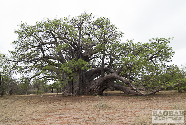 Sagole Big Tree, Venda Area, South Africa