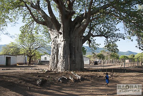 Baobab, Chiswiti, Mount Darwin, Simbabwe