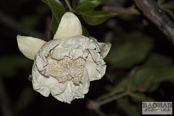 Baobab Flower