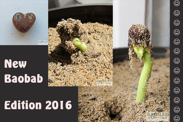 Baobab from Seed to Seedling, 2016