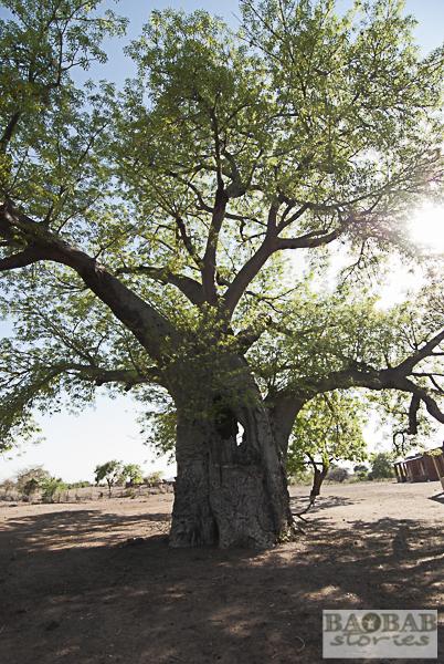 Baobab, Tsenga Village