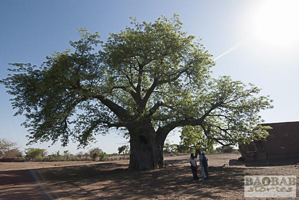 Baobab, Tsenga Village, Zimbabwe