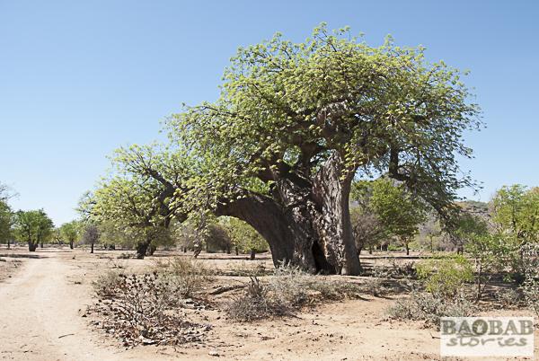 Baobab near Masvingo