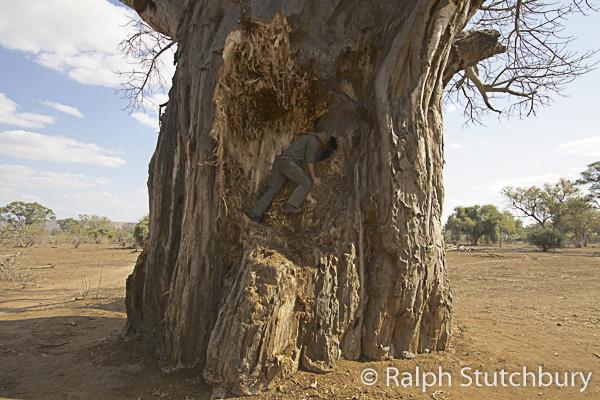 Baobab with hole