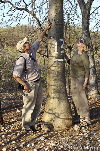 Diana Mayne (right) with David Baum inspecting a baobab