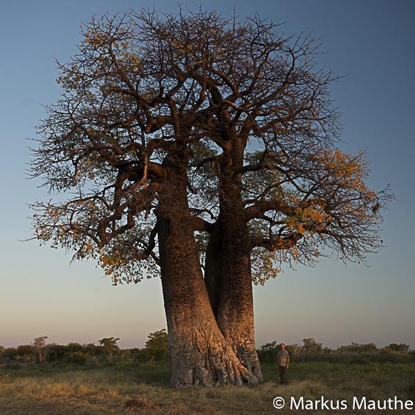 Markus Mauthe, next to Baobab, Namibia