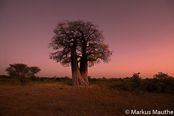 Baobab at dusk, Namibia, Markus Mauthe