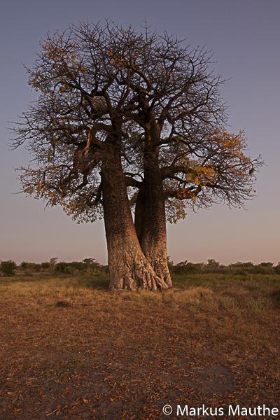 Baobab, Namibia, Markus Mauthe