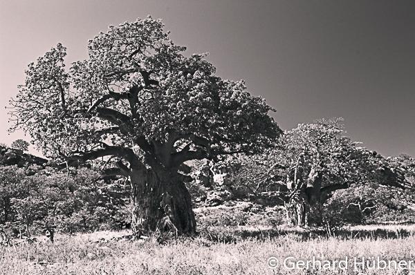 Baobabs at Mapungubwe, Gerhard Hübner